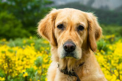 Portrait of Golden Retriever Royalty Free Stock Images