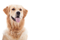 Portrait of golder retriever. Happy dog photographed in the studio on a white background royalty free stock photography