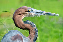 Portrait of a Goliath heron Stock Photos