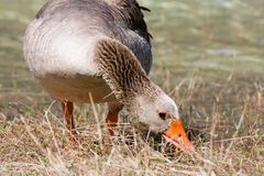 Portrait of goose Royalty Free Stock Images