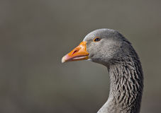 Portrait of a Goose. A close portrait of a goose royalty free stock photos