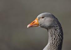 Portrait of a Goose. A close portrait of a goose Royalty Free Stock Photos