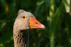 Portrait of goose Royalty Free Stock Image