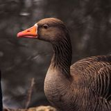 Portrait of goose royalty free stock photography