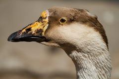 Portrait goose Stock Image