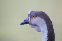 Portrait of a Goose. Stock Photos