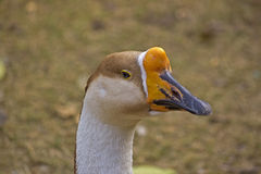 Portrait of the goose Stock Photography