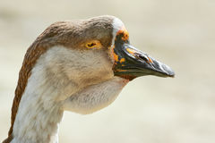 Portrait of Goose Stock Image