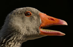 The Portrait of a Goose Stock Photo