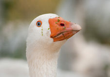 Portrait of goose Stock Photography