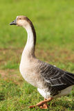 Portrait of a goose. Domestic goose on a farm close up royalty free stock image