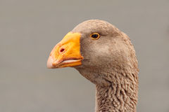 Portrait of a goose Royalty Free Stock Images