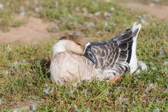 Portrait of a goose. Lying on the grass stock images