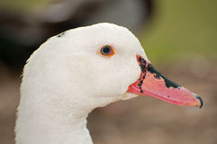 Portrait of a goose Stock Image