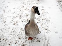 Portrait of the goose Stock Photos
