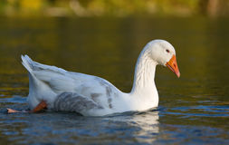 Portrait of a goose in water. A portrait of a white goose in water Genus: Anser stock photo