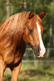 Portrait of gorgeous arabian horse Royalty Free Stock Photos