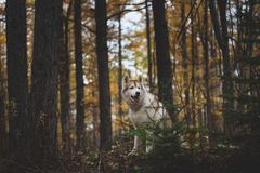 Portrait of attentive Siberian Husky dog sitting in the bright enchanting fall forest at dusk. Portrait of gorgeous and attentive Siberian Husky dog sitting in royalty free stock images