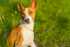 Portrait of gorgeous basenji dog delighting warm evening sun Royalty Free Stock Image