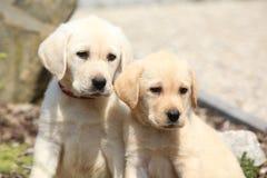 Portrait of gorgeous labrador retriever puppies Royalty Free Stock Image