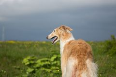 Portrait of gorgeous dog breed russian borzoi standing in the green grass and yellow buttercup field back to the camera. Portrait of gorgeous dog breed russian stock photos