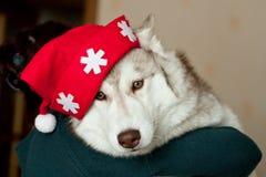 Portrait of lovely dog breed Siberian husky wearing Santa hat. Close-up Portrait of cute dog breed Siberian husky wearing Santa hat stock photo