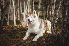 Portrait of gorgeous and prideful Siberian Husky dog with tonque hanging out lying in the forest in late autumn. Portrait of gorgeous, free and prideful Siberian royalty free stock photo