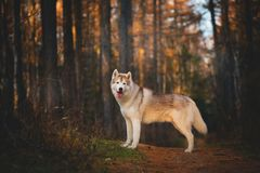 Portrait of gorgeous and free Siberian Husky dog standing in the bright enchanting fall forest. Portrait of gorgeous and free Siberian Husky dog standing in the stock photos