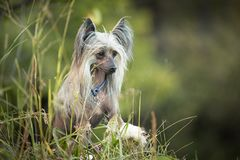 Portrait of gorgeous hairless Chinese Crested Dog sitting in the field in summer at sunset. Profile Portrait of beautiful and happy hairless Chinese Crested Dog