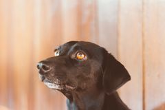 Portrait of a gorgeous and kind black dog with blurred background and looking at his best friend, the owner royalty free stock photo