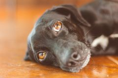 Portrait of a gorgeous and kind black dog with sad look. Waiting for adoption or waiting for its owner who left royalty free stock photos