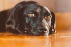 Portrait of a gorgeous and kind black dog with sad look. Waiting for adoption or waiting for its owner who left. Man`s best frien stock photos