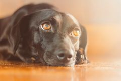 Portrait of a gorgeous and kind black dog with sad look. Waiting for adoption or waiting for its owner who left. Man`s best frien. Gorgeous black dog with sad royalty free stock photos