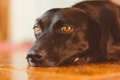 Gorgeous black dog with sad look lying down. He is in adoption or his owner has left. Sentimental, emotional and emotional dog. Portrait of a gorgeous and kind stock photo
