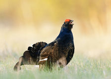 Portrait of a Gorgeous lekking black grouse (Tetrao tetrix). Stock Image