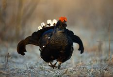 Portrait of a Gorgeous lekking black grouse (Tetrao tetrix). Royalty Free Stock Image