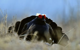 Portrait of a Gorgeous lekking black grouse (Tetrao tetrix). Royalty Free Stock Photography