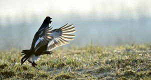 Portrait of a Gorgeous lekking black grouse (Tetrao tetrix). Stock Photography