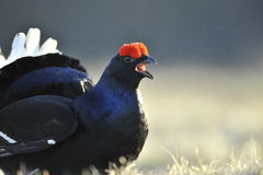 Portrait of a Gorgeous lekking black grouse (Tetrao tetrix). Royalty Free Stock Photo
