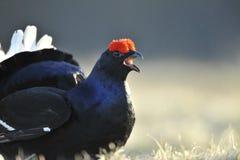 Portrait of a Gorgeous lekking black grouse (Tetrao tetrix). Royalty Free Stock Photo