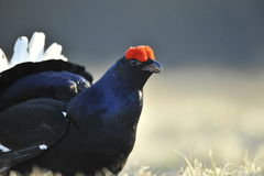 Portrait of a Gorgeous lekking black grouse (Tetrao tetrix). Stock Photos