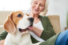 Beagle Dog with Senior Owner royalty free stock photography