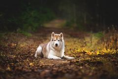 Portrait of gorgeous siberian Husky dog lying in the dark fall mysterious forest at sunset. Portrait of gorgeous and serious beige siberian Husky dog lying on stock photos