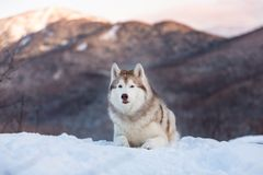 Portrait of gorgeous Siberian Husky dog lying is on the snow in winter forest at sunset on bright mountain background. Husky dog looks like a wolf royalty free stock photo