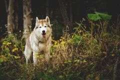 Portrait of gorgeous Siberian Husky dog standing in the bright enchanting fall forest. Portrait of gorgeousl Siberian Husky dog with tonque hanging out standing stock photos