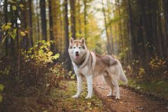 Portrait of beautiful Siberian Husky dog standing in the bright enchanting fall forest. Portrait of gorgeous Siberian Husky dog standing in the bright enchanting stock images