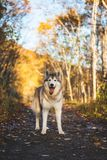 Portrait of gorgeous Siberian Husky dog standing in the bright enchanting golden fall forest. Portrait of gorgeousl Siberian Husky dog with tonque hanging out stock images
