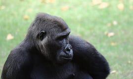 Portrait of a gorilla Stock Photography