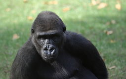 Portrait of a gorilla Stock Image