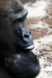 Portrait of gorilla Royalty Free Stock Image